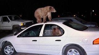 Bearsattackcarinyosemite