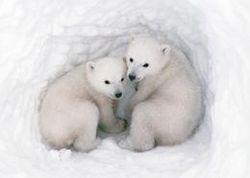 Polar cubs