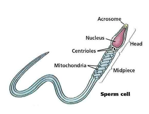 Sperm_cell