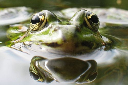 Froginwaterwikicommons