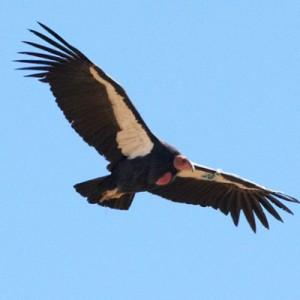 Condor-bird_400x400-300x300