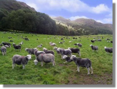 Herdwich sheep lake district large