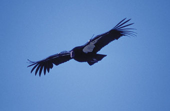 California_condor_by_chuck_graham