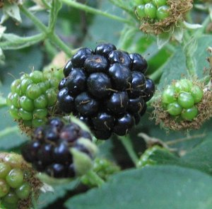 Summer_blackberries